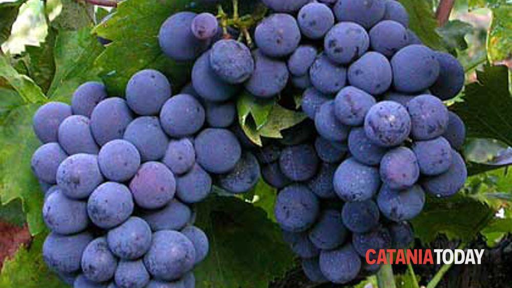 Festival internazionale uva da tavola igp a mazzarrone for Motta arredi ragalna