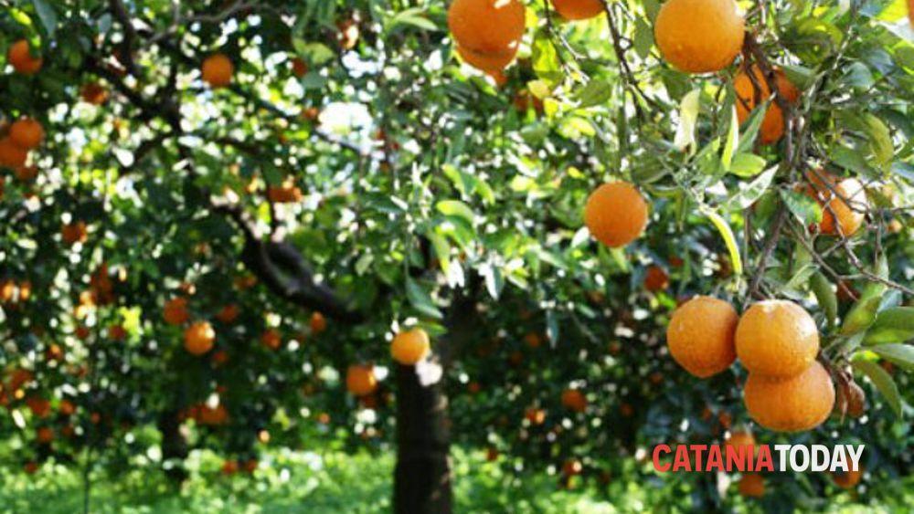 Motta sant 39 anastasia rubano 600 chili di arance in for Motta arredi ragalna